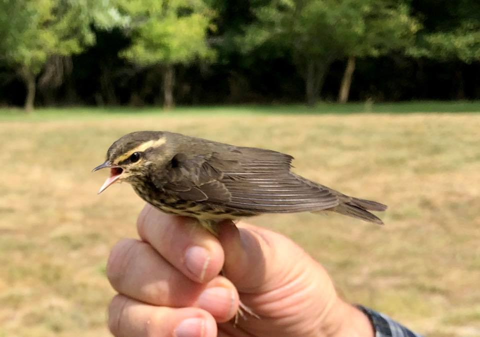 The 25,000th bird was banded yesterday at the Lincoln Land Community College Bird Banding Station! The bird was a Northern Waterthrush  which is a fairly common migrant in central IL. 🐦 https://t.co/d3rtM2FTbi
