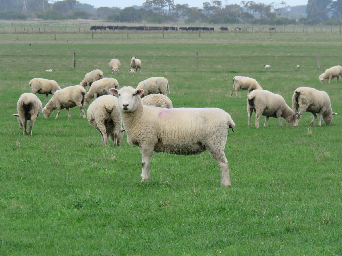 Cashmore Oaklea puberty program ewes best ewe 2020, mated 33 kg, mid pregnancy 43 kg, pre lamb 56 kg, produces 5 kg twins at 350 days old. 6 generations of early puberty in pedigree. Regards JK