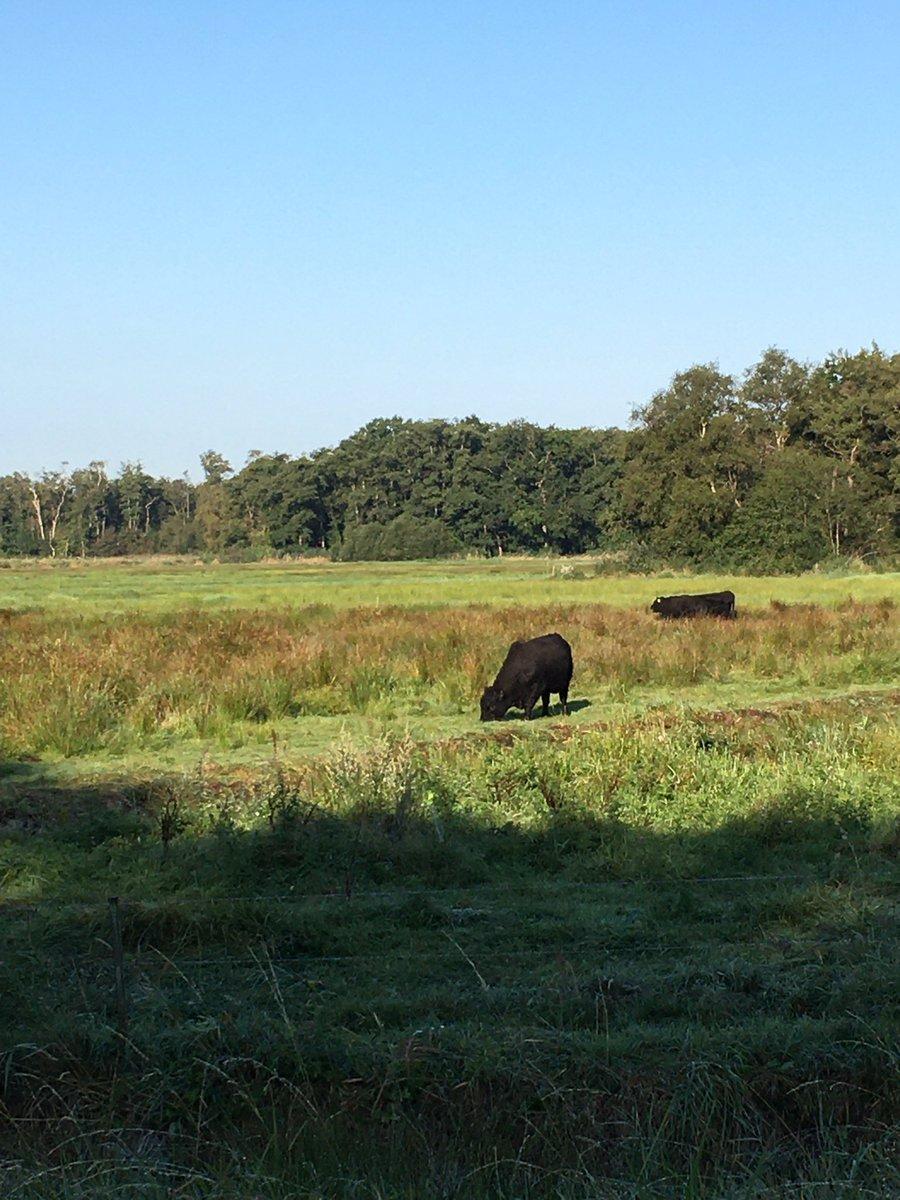 Goedemorgen! Galloways in de ochtendzon in het #Naardermeer.