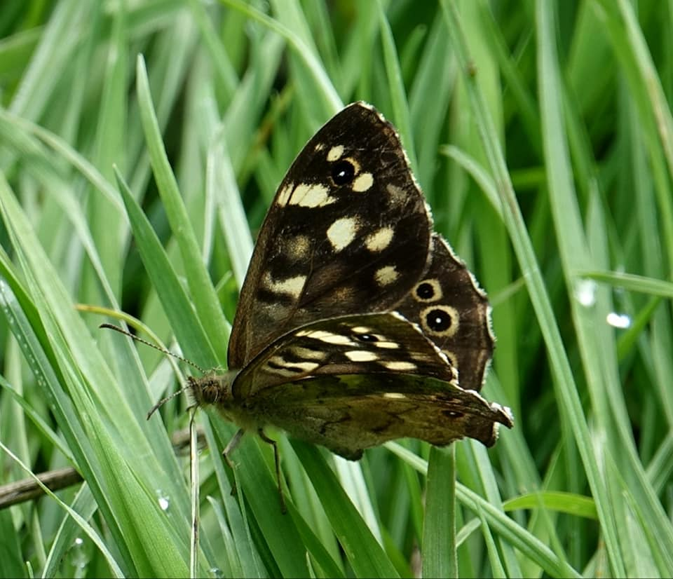 The Speckled wood is dark brown with creamy yellow spots. The best way to identify the 'brown' butterflies is by looking at the eyespots on their wings. Pic by Jenny Dawson. #WilderStaffordshire https://t.co/wsRADCB0kH