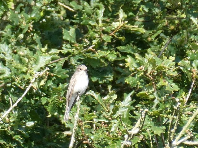 Watch the deadly accurate flying of the spotted flycatcher in woodlands, gardens and parks.  John Fox saw this one at our Highgate Common nature reserve recently. #WilderStaffordshire https://t.co/yILk8bIdAj