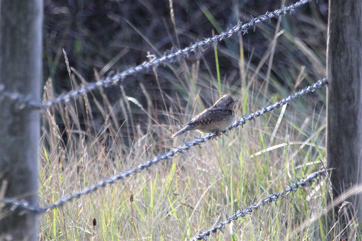 This morning's photos now uploaded :) #Wryneck #PiedFlycatcher #Wheatear found on my early morning walk up to Sammys Point today. @spurnbirdobs Surprised only 1 other person seen on my way back with the tide receding the mudflats were choc full of birds too #yorkshirebirding https://t.co/M3lkXo6ASb