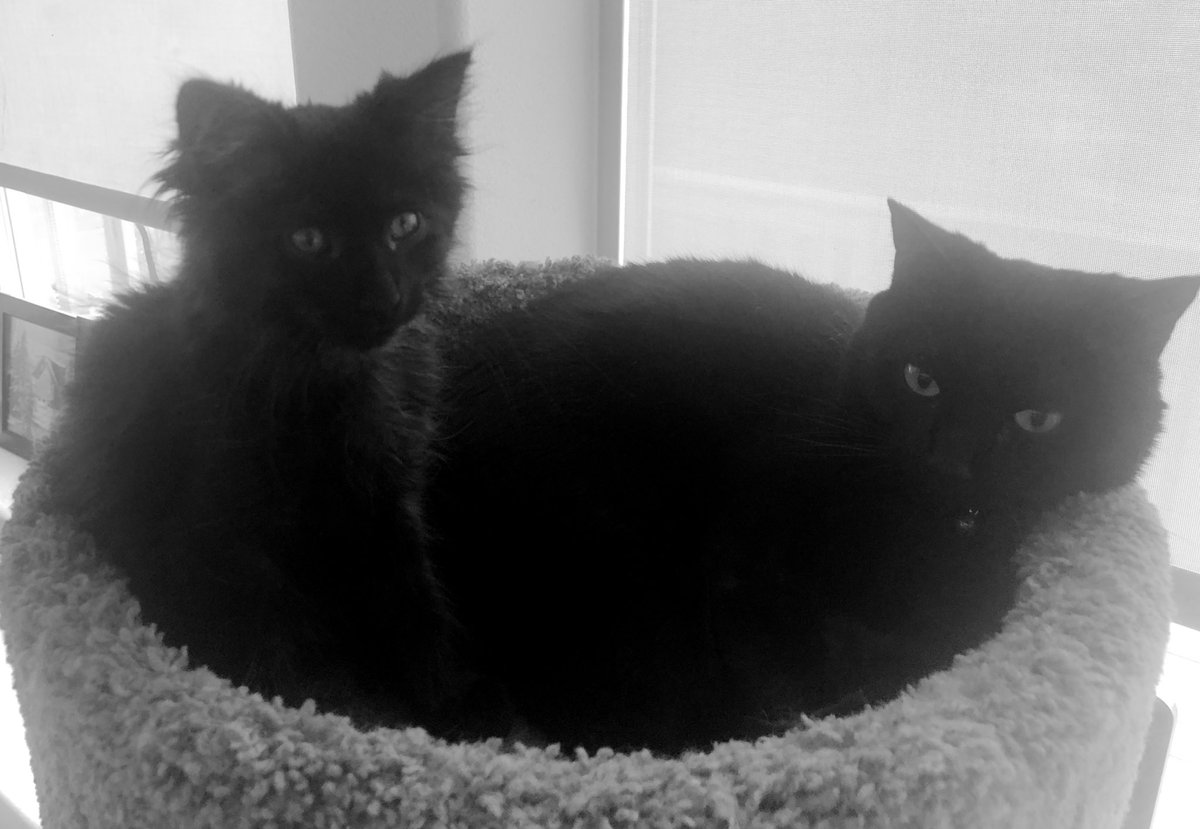 Isn't my brofur Apollo handsome and sisfur Pepper pretty?  I love my #panfur siblings!  They are finally getting along! #CatsOfTwitter https://t.co/jdfMazcsjN