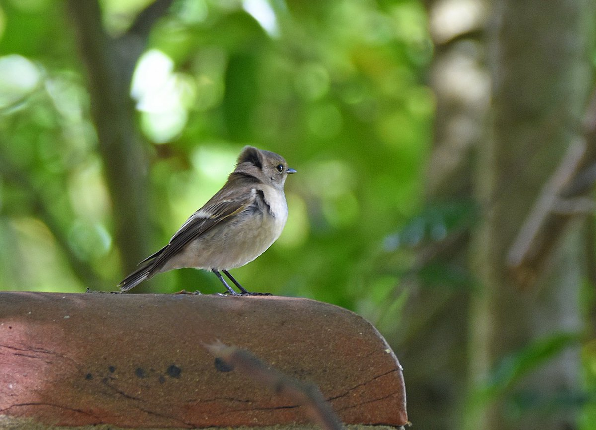The Pied Flycatcher in Cowes Lane, Hook-with-Warsash this morning #piedflycatcher https://t.co/G45pBuQhnm