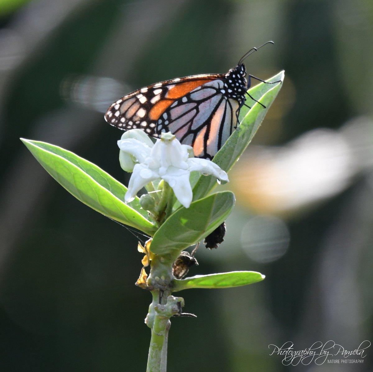 Butterfly #photographybypamela808 #butterfly #flowers #monarch #plants #nature #naturephotography #ilovebutterflies https://t.co/YLymdyWYAX