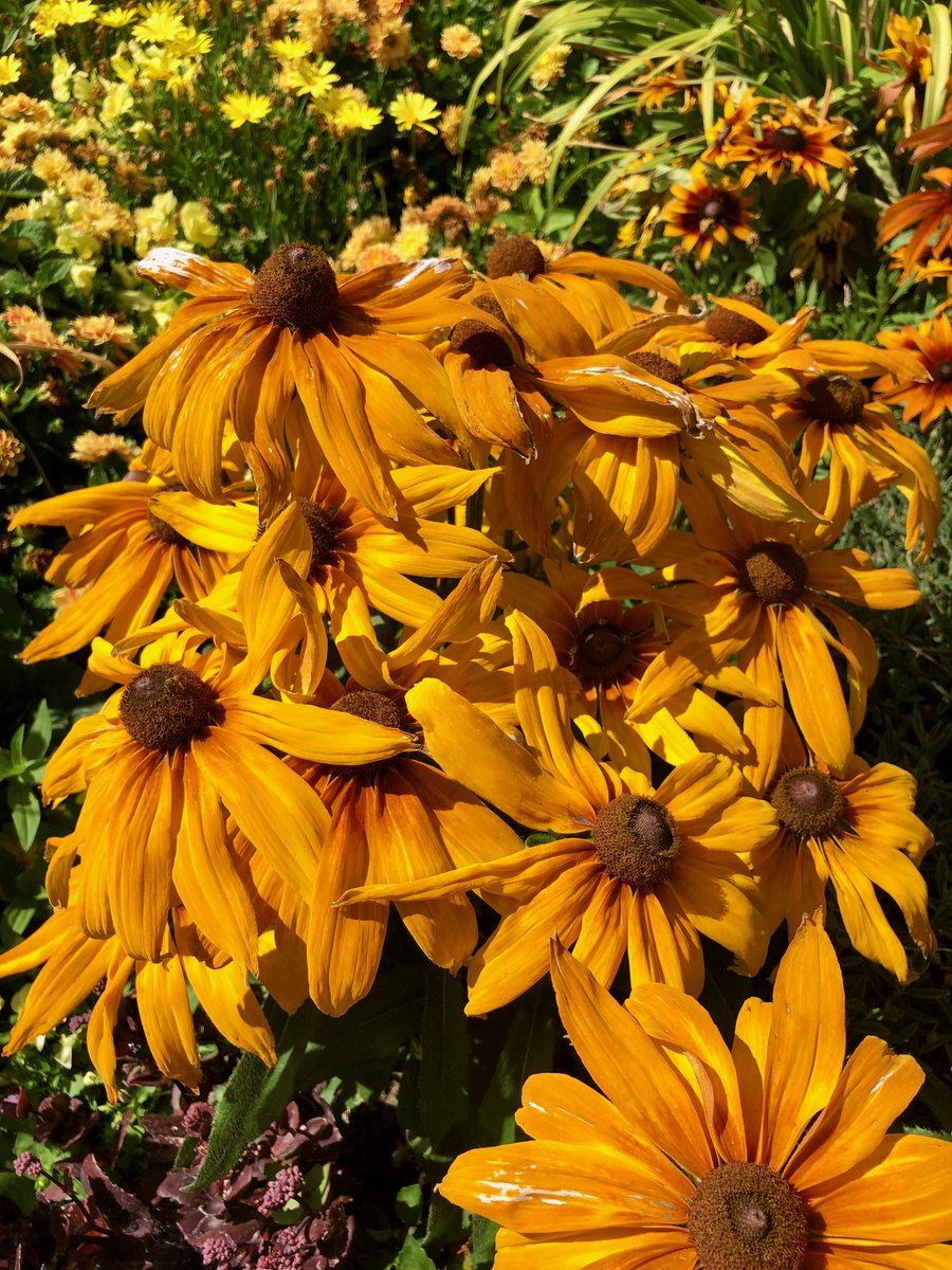 Echibeckia Summerina 'Sunchaser' and 'Sunreef' a hybrid of Echinacea and Rudbeckia being tested @redbuttegarden Huge flowers even in this recent 100°F heat.  #PlantTrials #Gardening https://t.co/cXWeAMazTa