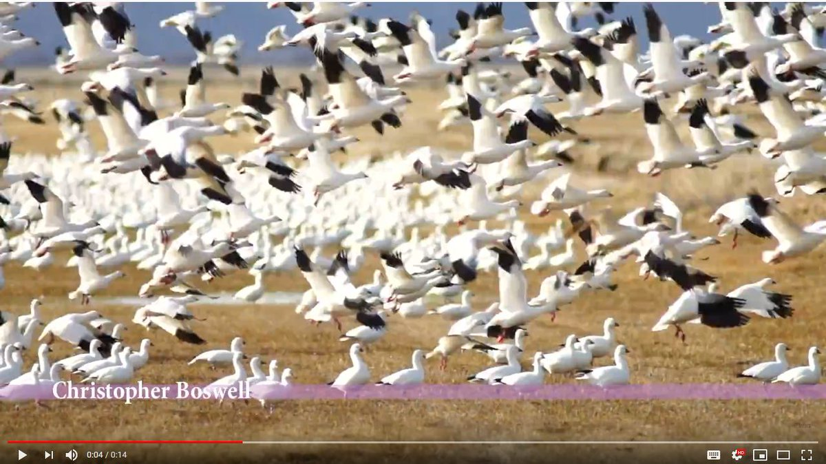 Snow Geese Flock Together Spring Migration Wild Birds Take Flight Video  https://t.co/8zxOX7JlD6  #Snowgeese #fly #wildlife #birds #animals #Geese #Flock https://t.co/nK35OFaPSr