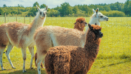 Alpaca fur is soft, durable and strong. It's often spun into yarn that's prized by knitters and weavers. But just how much yarn can one animal produce? #MyMdFarmers #Alpacas   A. 25 yards B. 50 yards C. 75 yards  D. 100 yards   Answer: https://t.co/QiTx7Ustbh https://t.co/T7ihqj1dqX