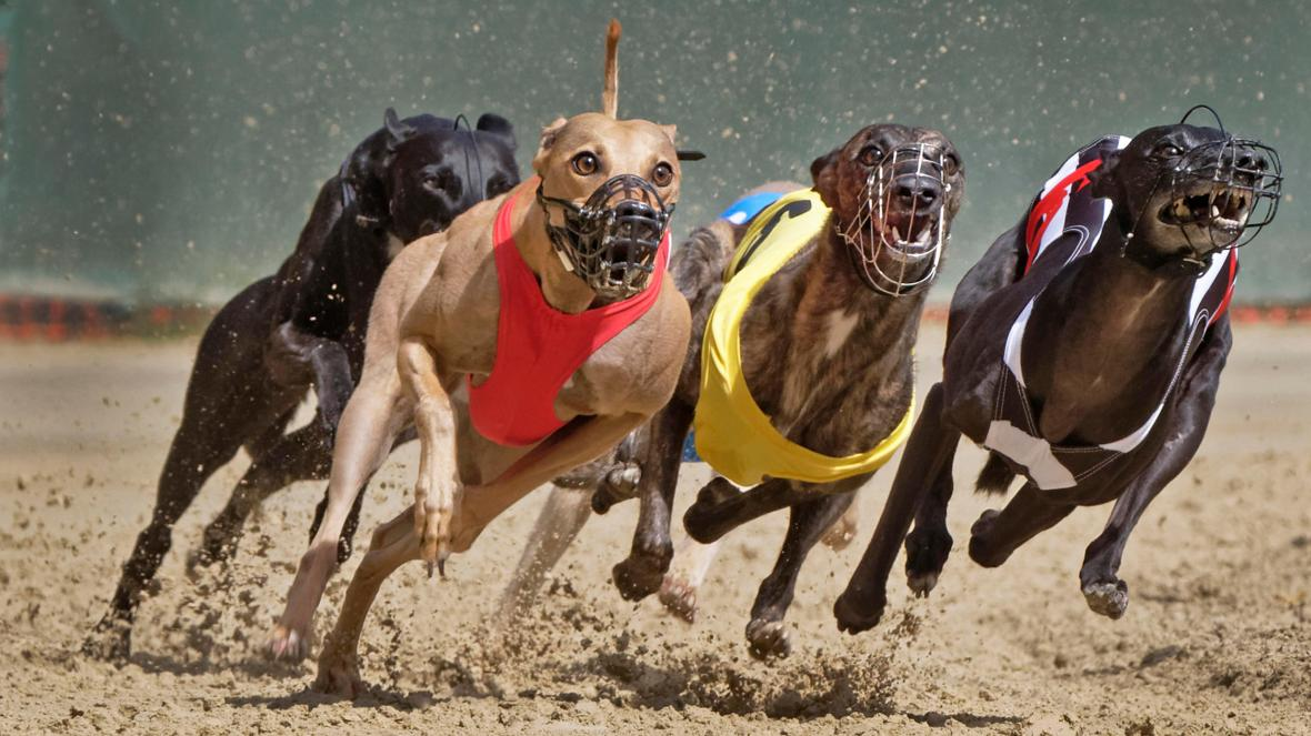 henlow dogs betting on sports