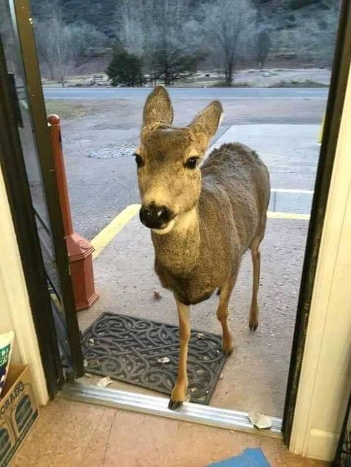 シカのお話です!お店にきたシカにクッキーをあげたら今度は30分後に、家族づれでまた貰いにきた!しかも店内に入ってきたのは一頭のみ・その他はちょっと遠慮して店外で待機!