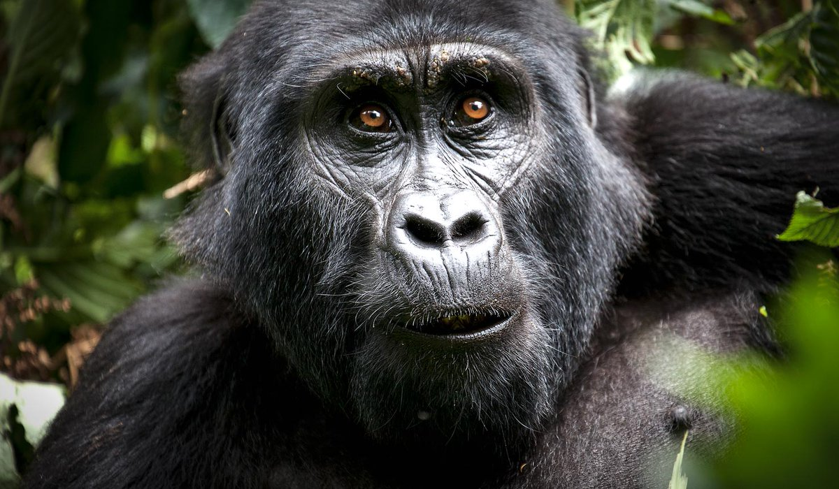 For a gorilla tour whether during these times of COVID-19 or after, book one of our Rwanda gorilla tour itineraries  https://t.co/oOJqRCPkyc #rwandasafaris #Rwandagorillatrek #gorillatoursrwanda #Rwandagorillatrekking https://t.co/dCPWdHsjYm