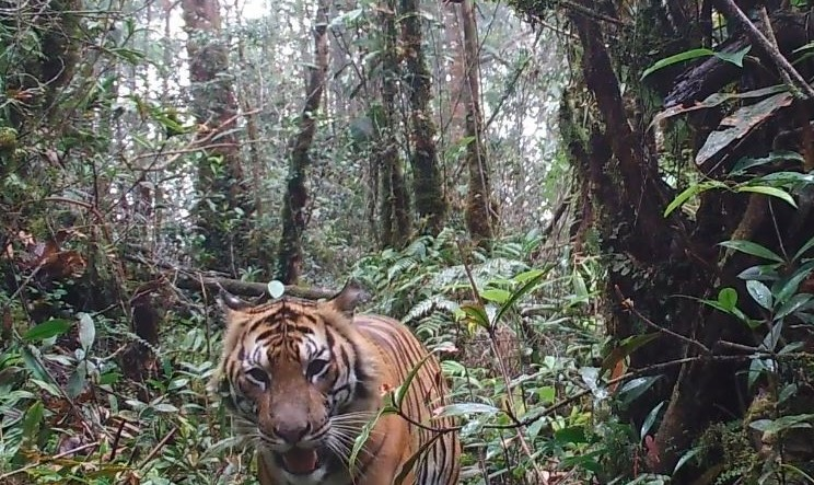 This Wild Wednesday, we bring you a majestic #SumatranTiger. The photo was captured in the #LeuserEcosystem by a camera trap placed by our partner FKL. You can support the critical work of FKL #WildlifeRangers through a monthly donation: https://t.co/ZM4XDl1kcx #ITP #SaveTiger https://t.co/EjdFmaXsRp
