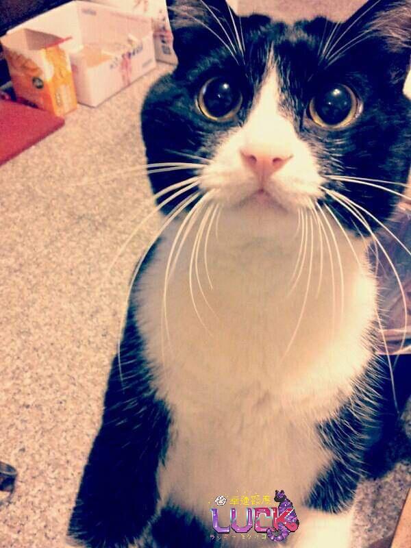 目ぐるぐる👀 #幸運額度 #cat #taiwan #猫 #猫好きさんと繋がりたい #猫好き #猫写真 #猫のいる生活 #インスタ映え #貓 #台灣 #台湾 #REO #レオ #ハチワレ #ハチワレ猫 #賓士貓 #Tuxedo #雷歐 https://t.co/3zC3daPXlm