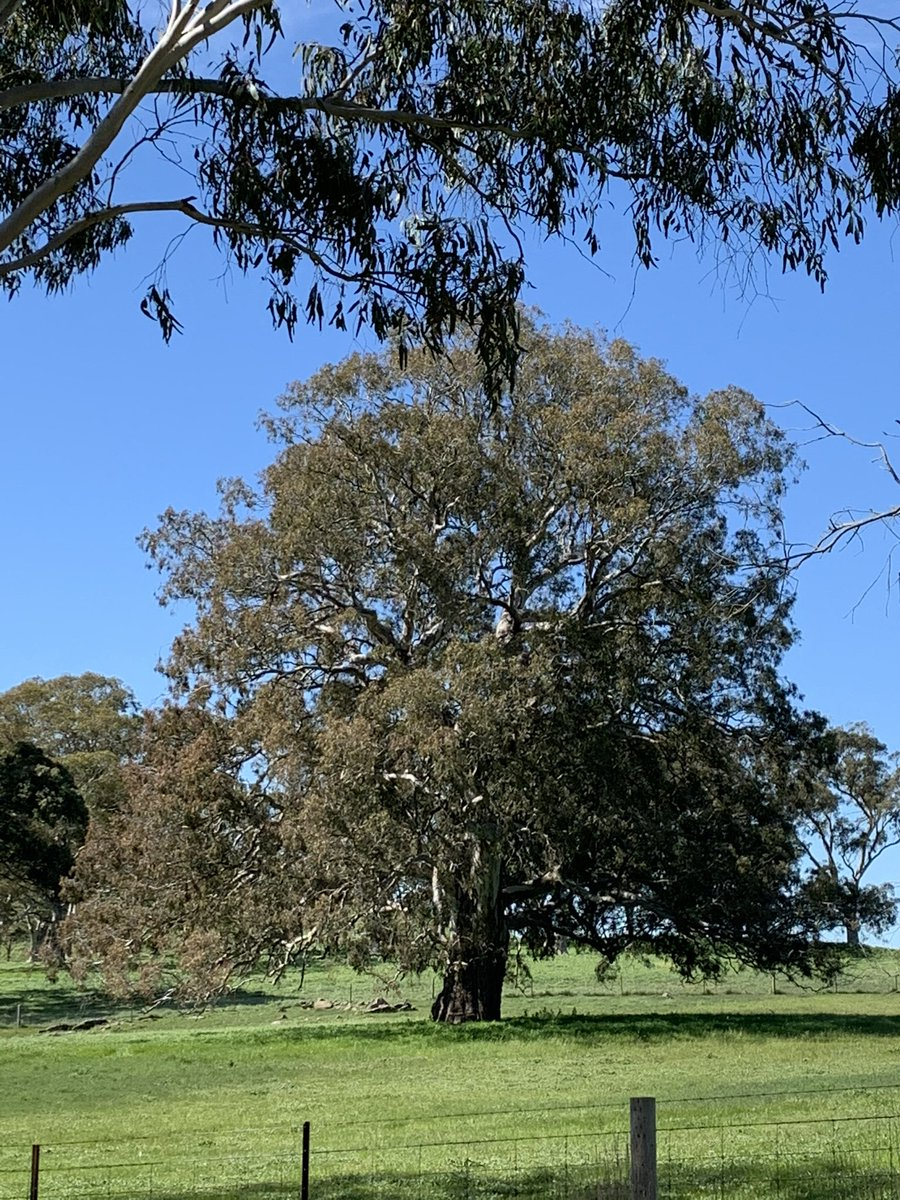 RT @JamesASexton: We have some seriously big trees in the Adelaide Hills https://t.co/ONmkiJ4TUH