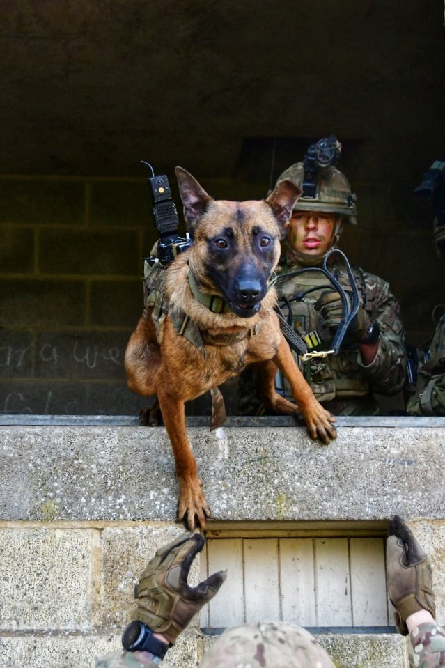 Its #InternationalDogDay and we celebrate the fantastic contribution of our furry friends. As much as we love these animals as pets the @BritishArmy also have a use for them as working dogs @1MWD_Reg. These animals are as important to us as our #WeAreInfantry soldiers.