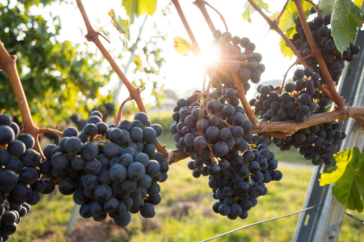 Meunier is one of the four grapes permitted in Trentodoc. With fruity flavors of sweet lemon and golden apple, the grapes are used to blend into Chardonnay and Pinot Noir-based wines to give this glass of sparkling wine from the mountain, more richness and body. https://t.co/8pJt0gR6k0