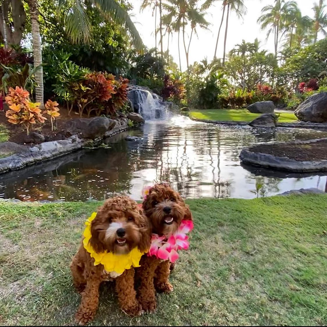 We ❤️ our guests' furry friends! #NationalDogDay 📸: keiks.and.koko  #FairmontOrchid #Hawaii #OnlyAtTheOrchid #HawaiiIsland #Fairmont #FairmontHotels #FairmontMoments https://t.co/pj58RzxCp7