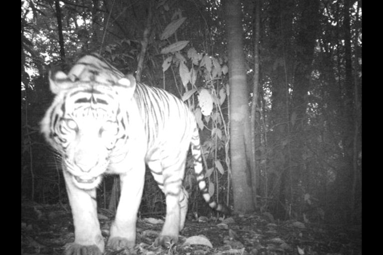 Some cool facts about the amazing, but critically endangered Sumatran tiger of Indonesia. With camera trap footage!  https://t.co/a5XlklhGUO #biodiversity #LeuserEcosystem #LovetheLeuser #conservation https://t.co/cjfXYw2Oje