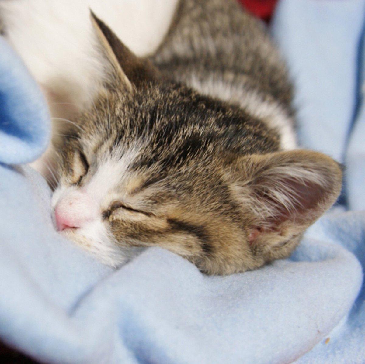 かわいいにゃんこ♪ #ハニーペット #HONEYPET #honeypet #猫 #ねこ #ねこ部 #にゃんすたぐらむ #にゃんこ #子猫 #ネコ #ねこのいる生活 #ねこのきもち #ねこのいる暮らし #kitty #catstagram #petstagram #instacat #meow #instagood #follow #followme https://t.co/kUkzeendQO