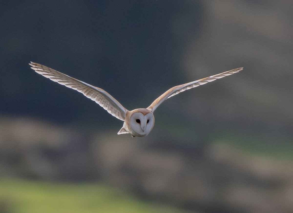 With its distinctive heart-shaped face, pure white feathers, and ghostly silent flight, the barn owl easy to identify! Pic by Tammy Mellor #WilderStaffordshire https://t.co/rUgfZMhMt6