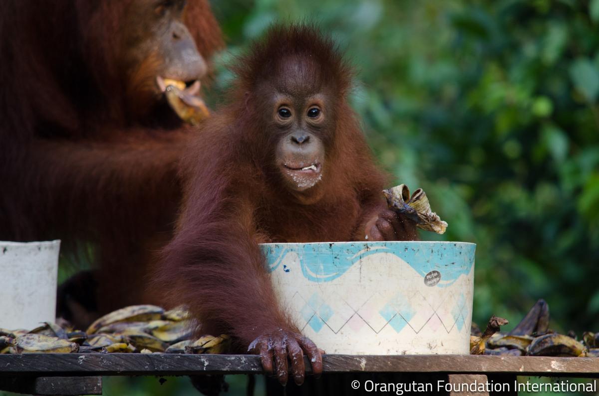 Orangutan Foundation International (@OFIOffice) | Twitter