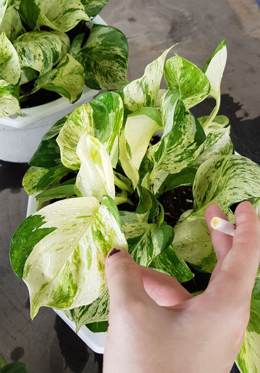 Nan Fe On Twitter Another Attempt To Plant Manjula Pothos If You Remember I Had Several Pots Of Manjula Pothos Before And Killed All Of Them After Taking Time To Learn I