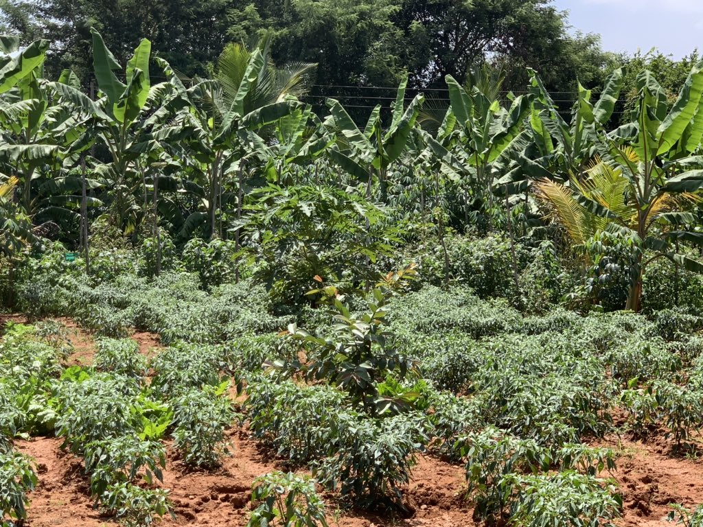 From one woman farmer to another - both following and validating core principles of #Arakunomics. See her 👇 organic farm consisting of 🍌, Papaya, Chillies 🌶, Lemon 🍋 & Turmeric, growing together as a bio diverse #FoodGrid that gets supplied to Bengaluru #FoodForFuture 1/3 https://t.co/nC7yMjyTf5