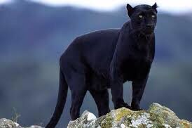 Today, all cats are Black Panthers https://t.co/FXWfD9IEiw