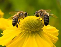 #GARDENERS: It's almost Fall planting time.  Remember, ##flowers that attract #bees are often yellow, blue or purple. Bees are so important to the health of our environment! https://t.co/Li6im21kK8