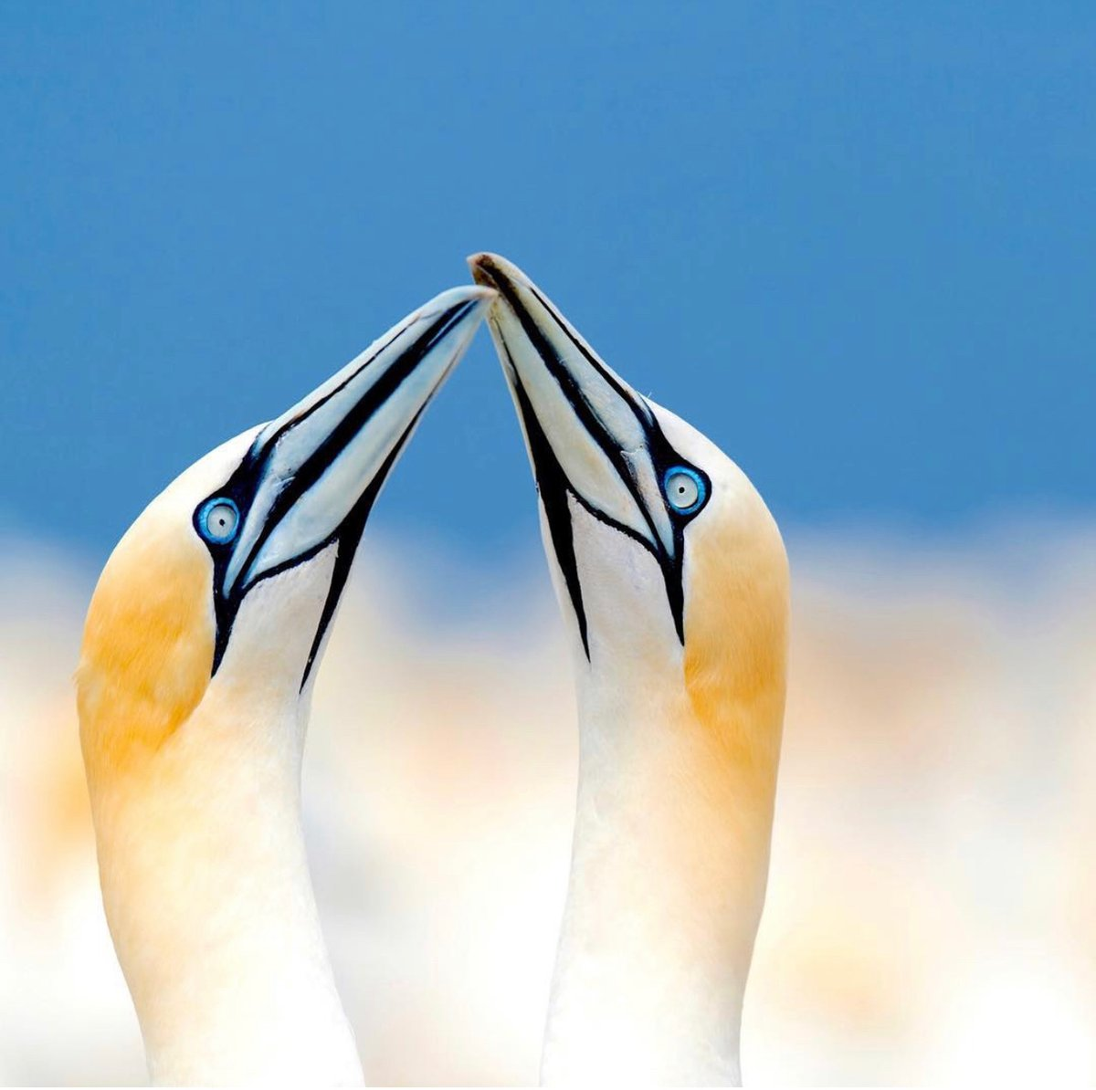 """Featured in National Geographic as Daily Dozen, Top Shot, """"Up in Clouds"""" 2012: Northern Gannets taken in Bonaventure Island, Canada.  @ThePhotoHour @The_PhotoBattle #birds #canada #wildlifephotography #NaturePhotography #TwitterNatureCommunity"""