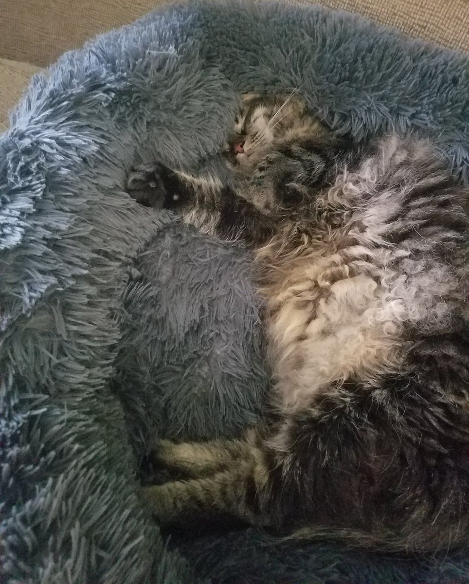 Itz a rainy #Caturday here andz dat meanz time ta catch up on myz napz. @yongmaylingjen1 @LittleMaineCoon @mitsy2714 @MaineCoonCatsOH @TheCatMalice @JusticeToAll @AmandaSmokeyIs1 @JoyOfCats @GeneralCattis @BerylCoon @CoonGriff @HugoStevens15 #mainecoon https://t.co/pHYfWUD0YG