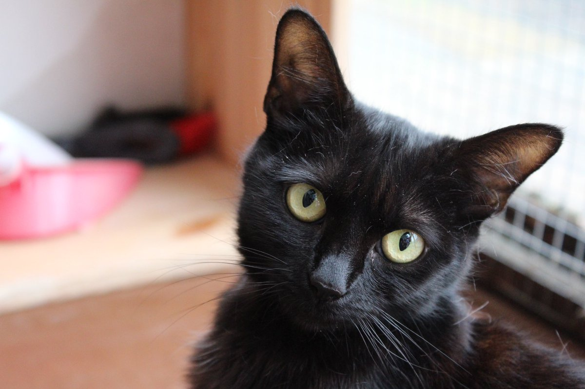 Gorgeous little Lucy is still looking for her new home this #Caturday . She's only 1 and has gained so much confidence with us. Please #AdoptDontShop this sweet girl today! #panfursquad #blackcats https://t.co/qjwb68t23T
