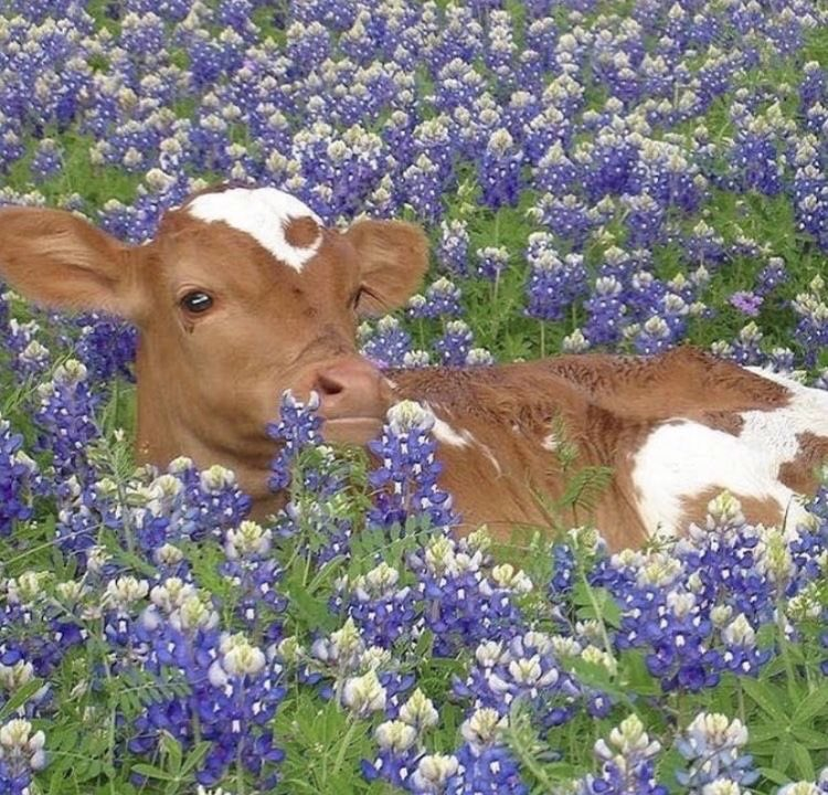 Here's a thread of all the baby cows in my camera roll in case you ever feel sad/down<3