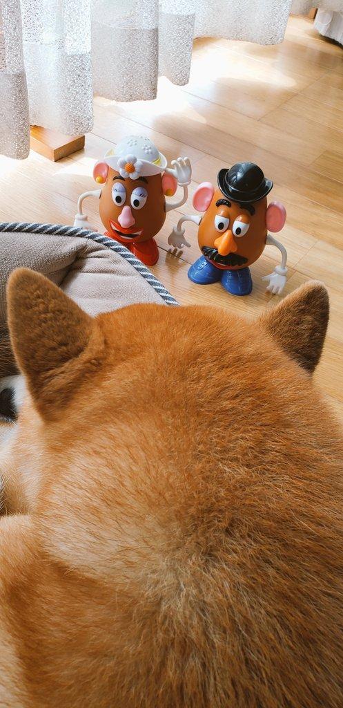 まったり日曜日🐾 ミスター・ミセスがまた遊びに来たw さぶのお腹に乗ってはしゃいでたら落とされたぁ⁉️😆www #柴犬 #Shibainu #イケメン犬の休日 #ミスター・ポテトヘッド #ミセス・ポテトヘッド https://t.co/FbBBFtptmY