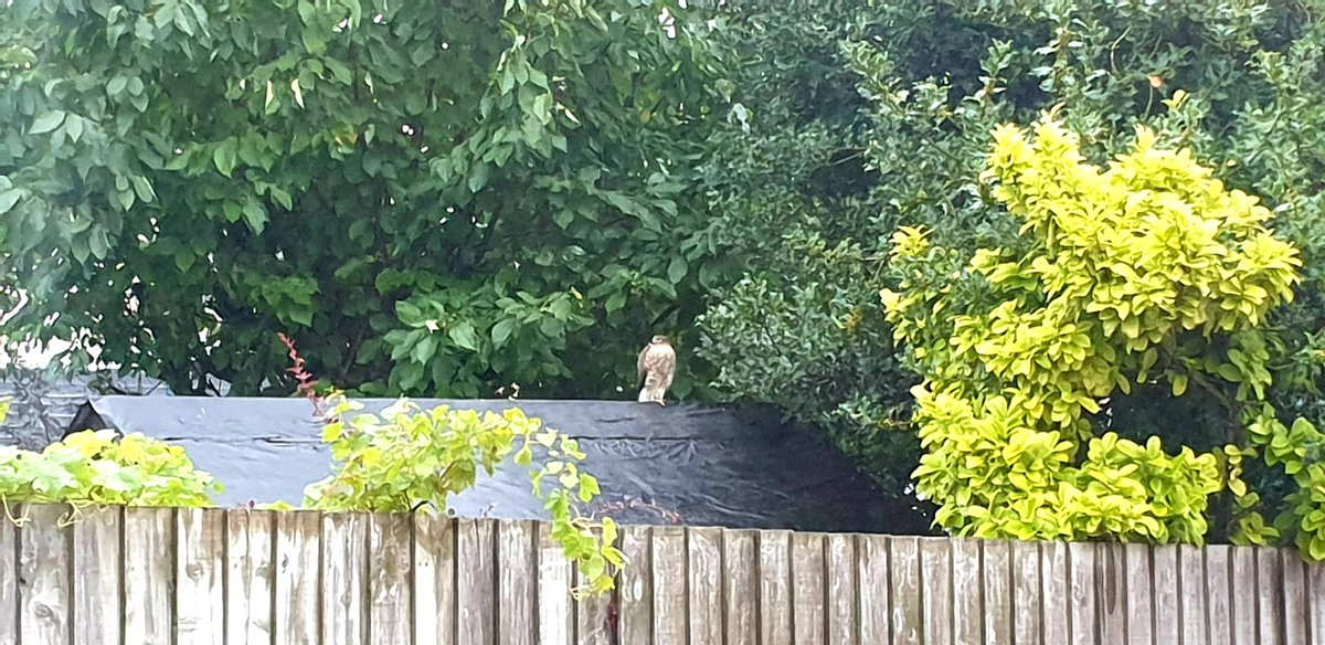 Casually glanced out of the window yesterday evening and spotted this handsome creature on next door's shed! My camera was good enough to get a more detailed shot to id. Any ideas? Colouring made me think sparrowhawk but is it too big? https://t.co/sTW99Gdomu