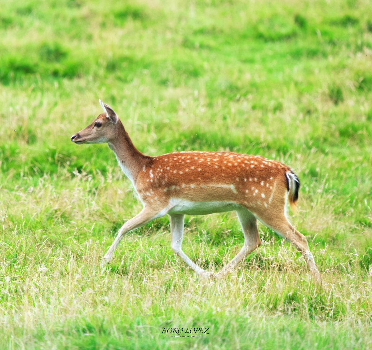 Scottish young deers. Hopetoun, Scotland #scottish #fawns #deer #hopetoun #nature #wildlife #scotlandisnow #scotland #600mm #borolopezphoto #SonyAlpha #telephoto https://t.co/OVD2ZbuZEd