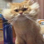 どうしたおまえ…?お顔の毛がとんでもないことになっている猫ちゃん