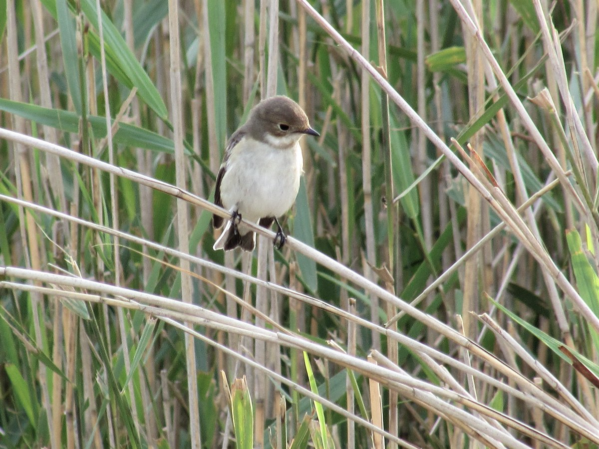 #PiedFlycatcher #WoodSandpiper #Swallow & #RoeDeer with a couple of youngsters at Spurn @spurnbirdobs late afternoon/evening Hoping for the #Wryneck tomorrow #YorkshireBirding #Nature #wildlifephotography #Kilnsea #Birding #ConnectwithNature #LoveLife https://t.co/t7bkMH5L9i