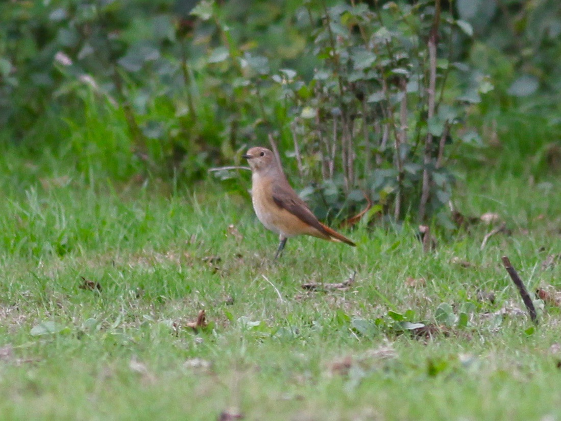 1 x day, 1 x churchyard, 3 x new birds for the year. #redstart #whinchat #piedflycatcher Thanks 2 @SelseyBirder, @RSPBPagham & @Fr_AWilkes 4 the pointers. Church Norton #paghamharbour Visit https://t.co/W6cAqK5apY @SussexWildlife CU2morrow https://t.co/5m3ZNUzXsn