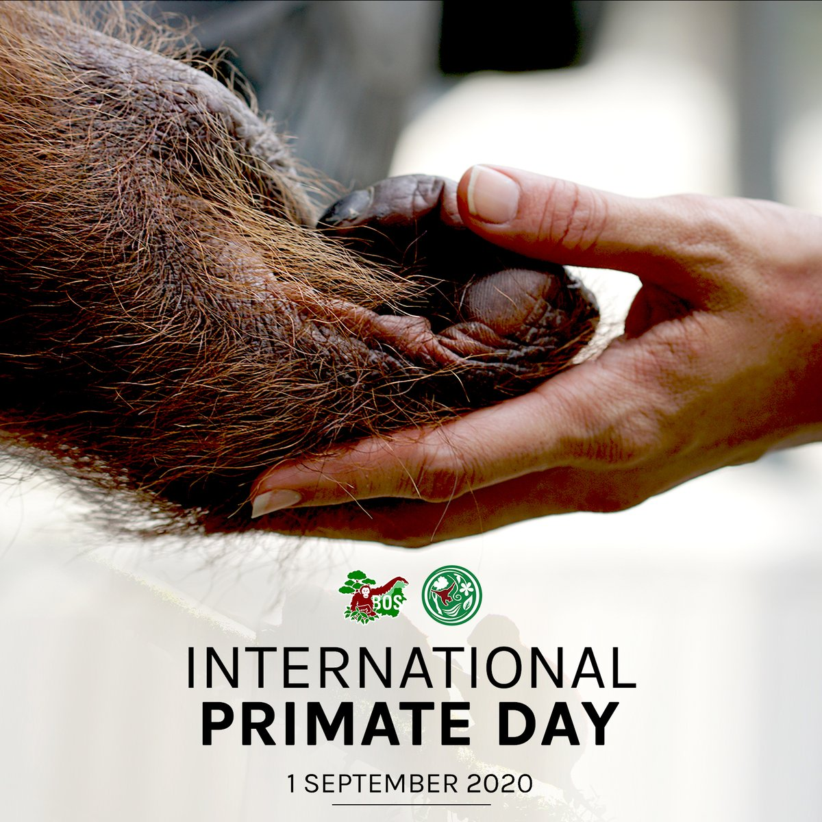 Happy #InternationalPrimateDay! All species of great apes, including the three orangutan species, are listed as Endangered or Critically Endangered. Let's work hand in hand to save these primate populations, to help preserve ecosystem integrity →https://t.co/dlFvMHmJ5k https://t.co/QfpbE6e5cX