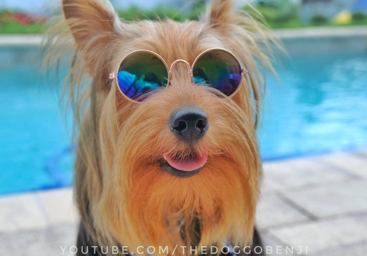 Tongue out Tuesday. Just don't zoom in because you will see the photographer 🤣 #tongueouttuesday #tongueout #dogofyoutube #dogsofinstagram #dogsoftwitter #yorkiesofinstagram #yorkshireterrier #cutedogs #cutepuppy #dogs #puppy #puppiesofinstagram #dogloversofinstagram https://t.co/uuugVFubGF
