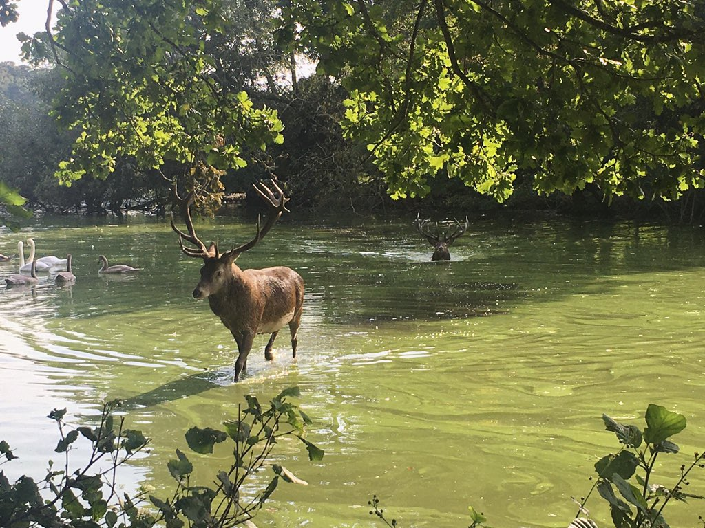 everyone look at the deers i saw taking a swim today!!