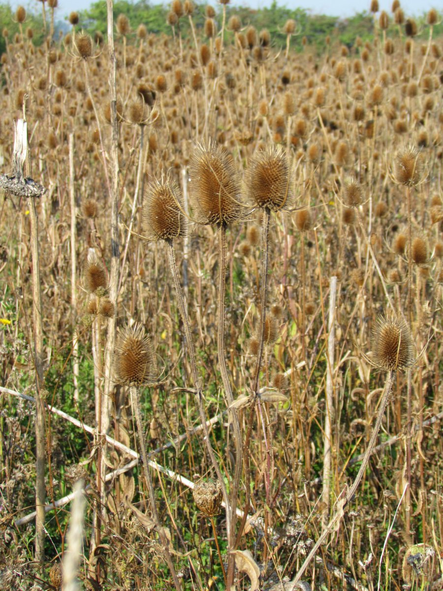 Teasels around our reservoir on the East Fen, plenty for the Goldfinches to go at this autumn