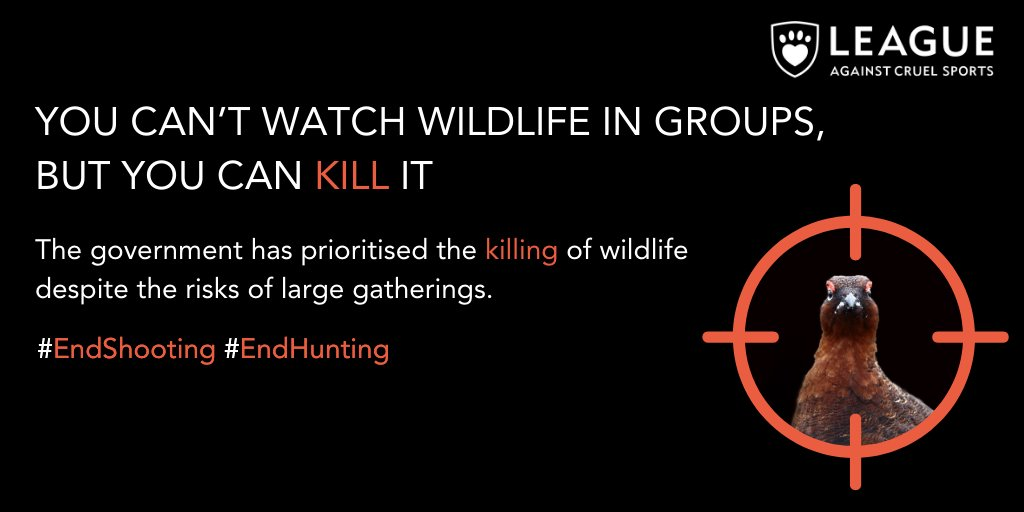 Despite the #RuleofSix blood sports are set to continue Killing wildlife for fun has been prioritised by the Government despite the risks of large gatherings during the pandemic. @MarkAvery @ChrisGPackham metro.news/groups-of-up-t…