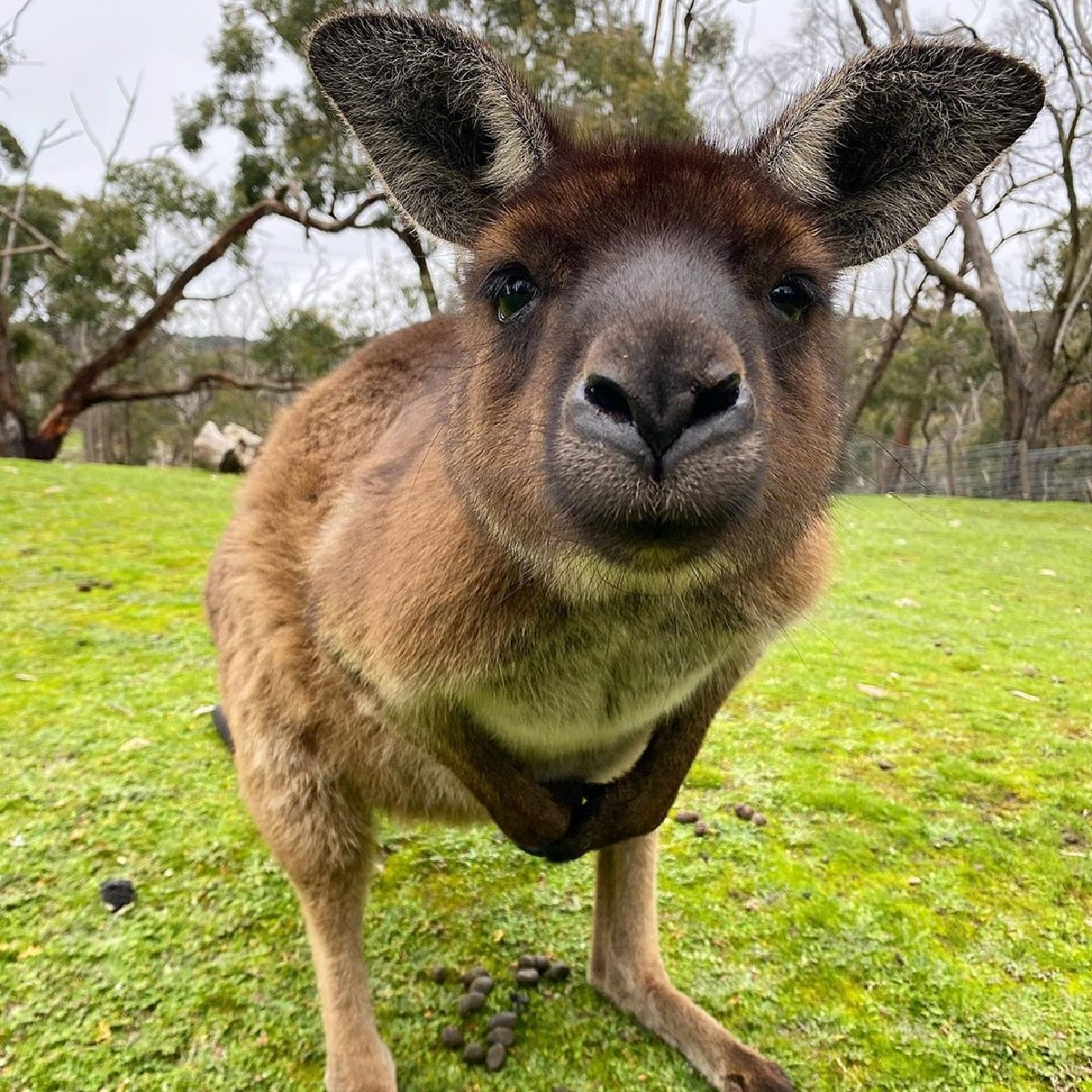"""""""Is that the latest iPhone? I heard it's roo-ly good!"""" 😂  As a wildlife keeper at #ClelandWildlifePark in @southaustralia's #AdelaideHills, IG/koala_keeper_ness is no stranger to inquisitive #kangaroos like this friendly critter here!   #seeaustralia #seesouthaustralia https://t.co/GLicG9YGqQ"""