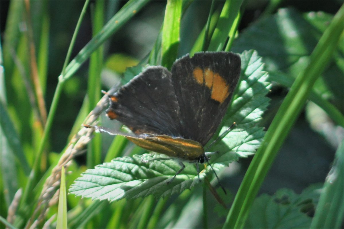 Great to see this female Brown Hairstreak - albeit a bit battered - in Grafton Wood this morning. It was low down on bramble at the junction of the main ride and the ride leading down to the old pool. https://t.co/HNYK5LUkjN