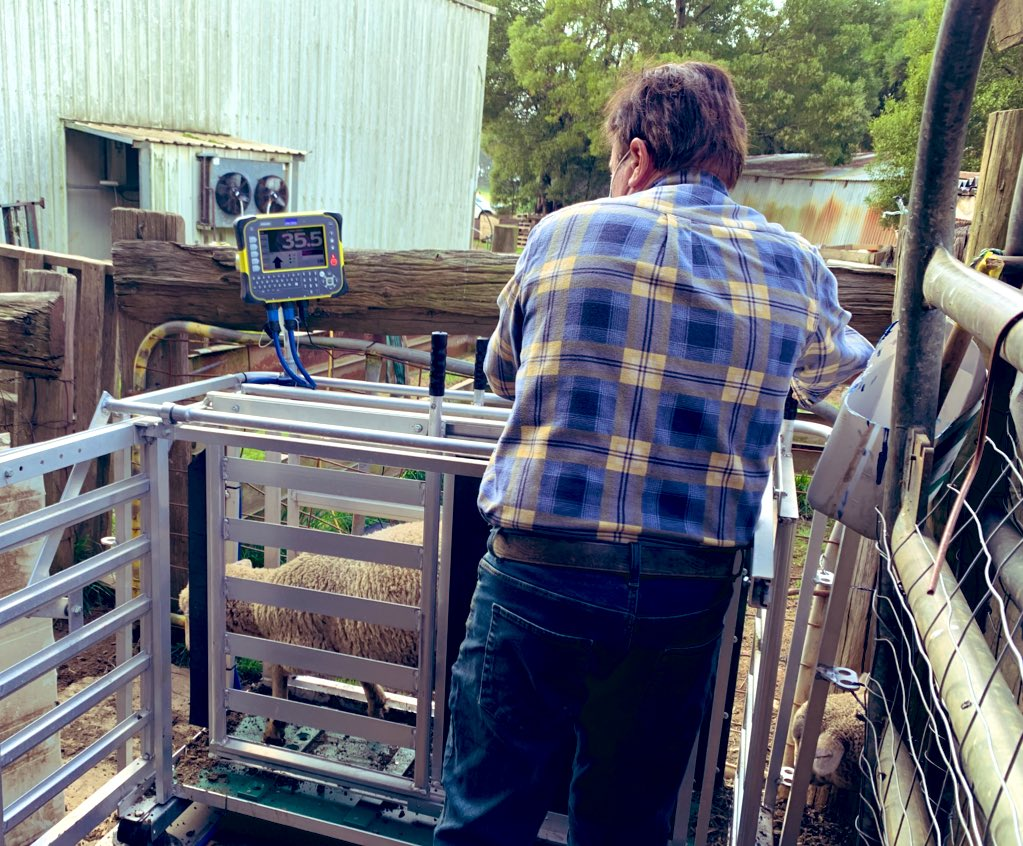 Sheep weighing just got technical here! These guys have put on a little iso weight 😬 @Tru_Test   If you can't measure it you can't manage it! @VicFarmers #agriculture #aussiefarmers https://t.co/KiT7j0iAFy