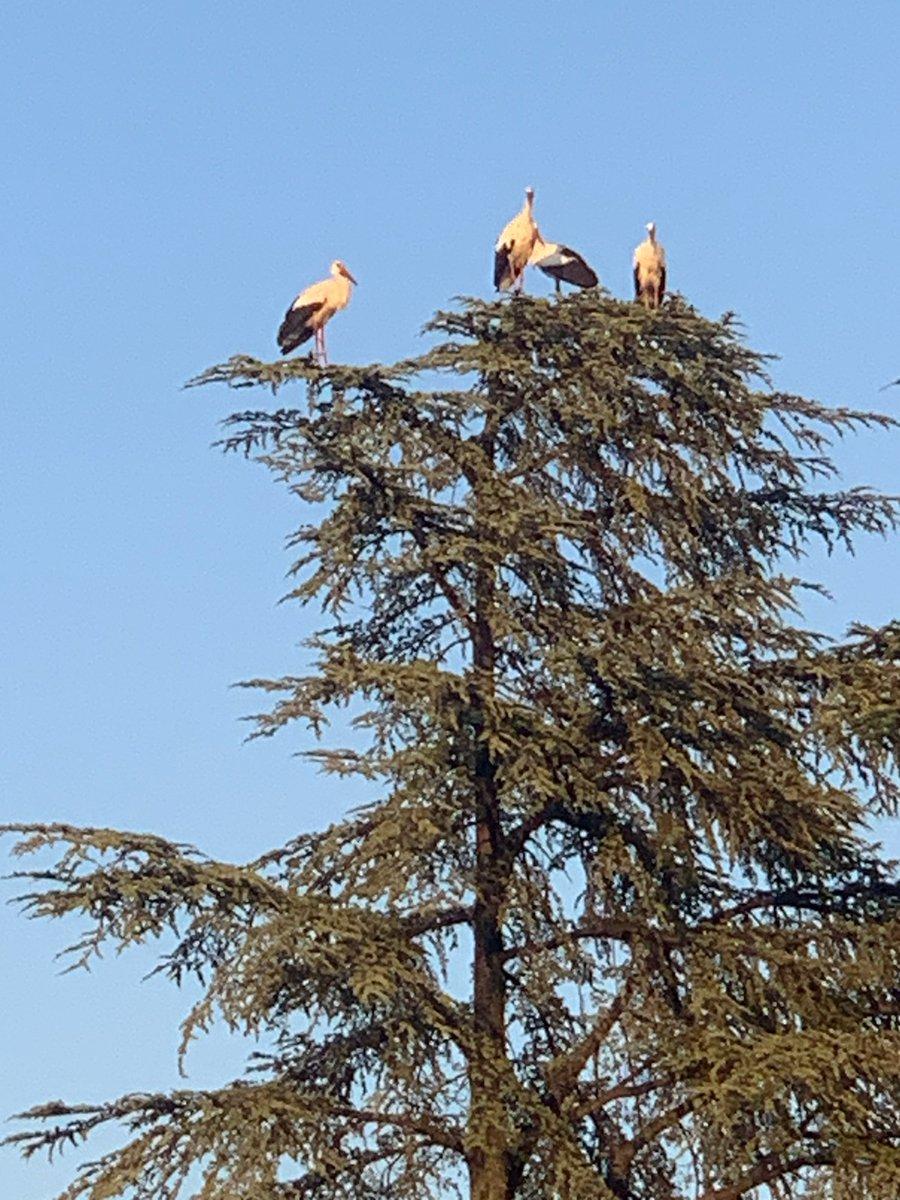 Halte dans le jardin du préfet pour 17 #cigognes en route vers l'Afrique ...  Il fait bon s'arrêter en #Drôme ! 👍😄 Instant d'émerveillement devant la beauté de la nature en ce début de semaine 🤩🤩 Bonne semaine à tous ! https://t.co/4ERjvUxSgn