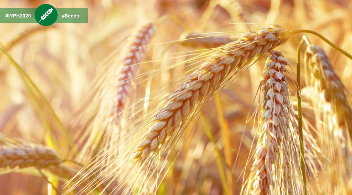 #ClimateChange effects are contributing to the spread of plant diseases such as Yellow Rust. #GlobalWarming is a threat to #wheat production, so let's protect #PlantHealth by searching for and selecting disease-resistant wheat #seeds!  More info: https://t.co/zNYrHPBR25 #IYPH2020 https://t.co/SkDNbUyDGA