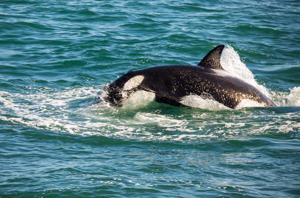 Buen día 🌞 Orcas @ Punta Norte - Patagonia Argentina 🇦🇷 #orcas #orcinusorca #killerwhale #cetacean #predator #wildlife #nature #puntanorte #peninsulavaldes #Patagonia #Argentina #Madryn https://t.co/0RKAdUXZiv
